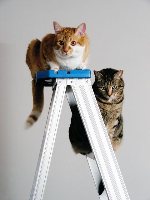 Cats still love ladders
