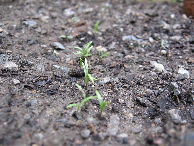Carrot Seedlings
