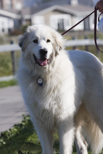 Mike L's Great Pyrenees dog Tavish - mikes-tavish-dog