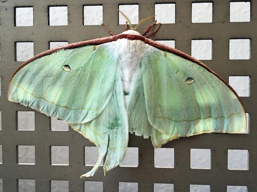 Moth called 'Oomizuao', Yokohama, Japan.