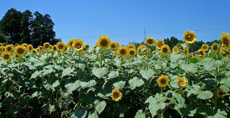 Visitors are surrounded by walls of sunflowers at Narita Yume Bokujo in Narita
