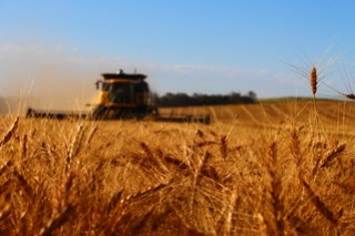 Irrigated wheat.