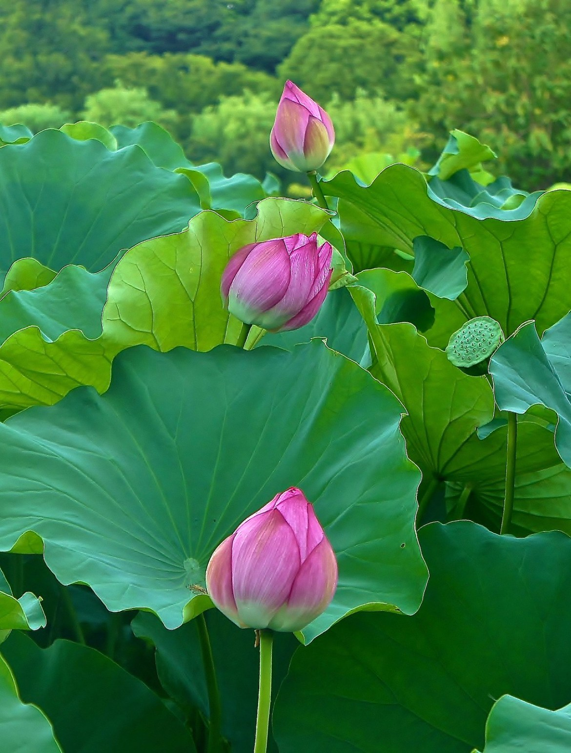 All in a queue Lotus flowers at Ueno Park