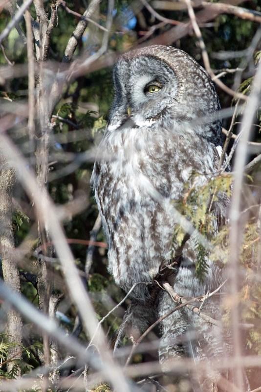 _DSC6222 Great Gray Owl