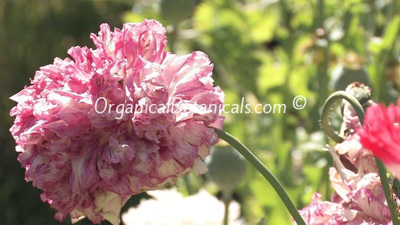 OrganicalBotanicals | Somniferum Poppy Pics 2015 Part II