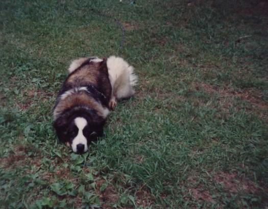Our Saint Bernard, Gidget ,1990