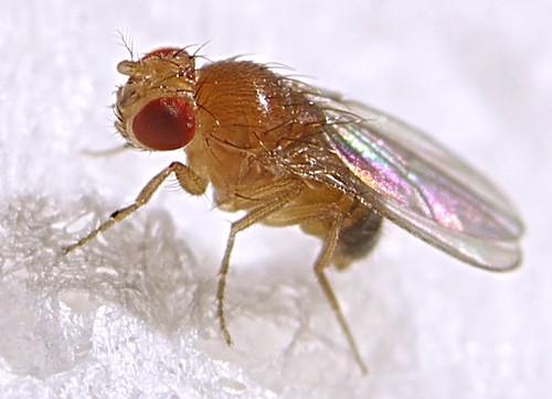 Fruit fly (Drosophila melanogaster, male)