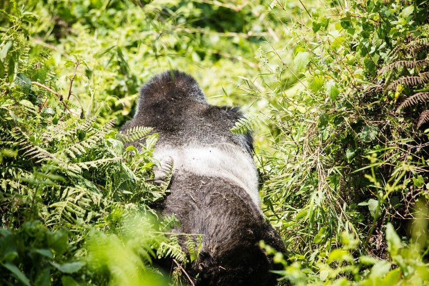 Gorilla Trekking 22