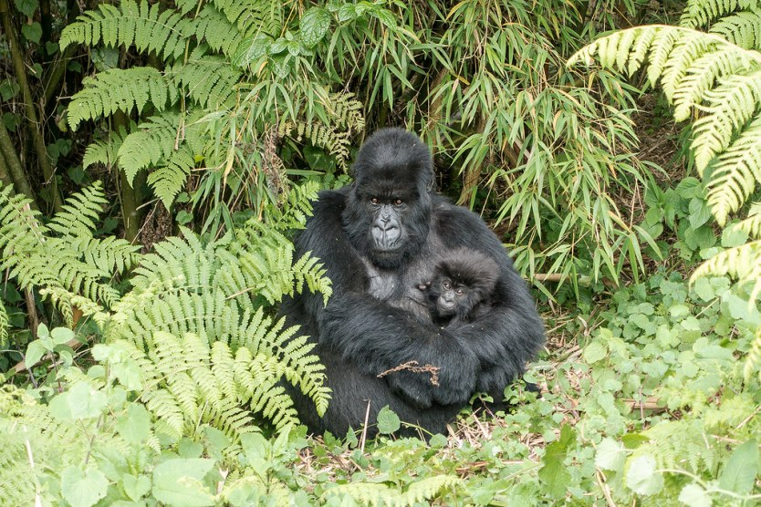 Gorilla Trekking 33