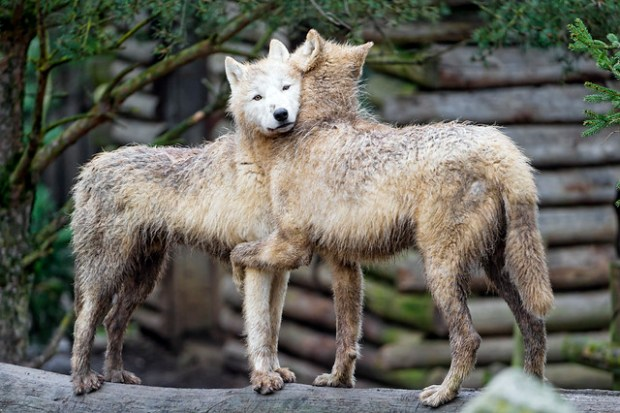 Two young arctic wolves hugging
