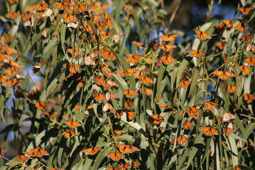 Monarchs on Eucalyptus by webmink