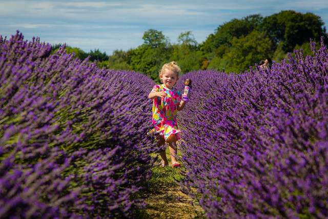 Bella running through the lavender