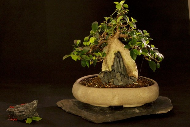 ficus front