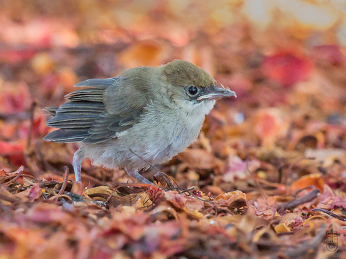 Canary Islands Chiffchaff (Phylloscopus canariensis canariensis) fledgling-5222