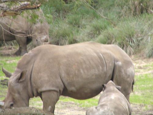 Disney safari: Baby rhino feeding from mother