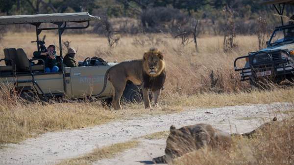 Cecil: How hard is it to hunt a lion?