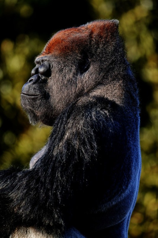 gorilla_181216