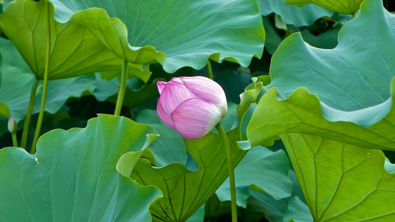Lotus FLowers in Ueno Park