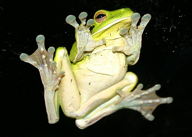 White Lipped Green Tree Frog This Photo Was Taken As The