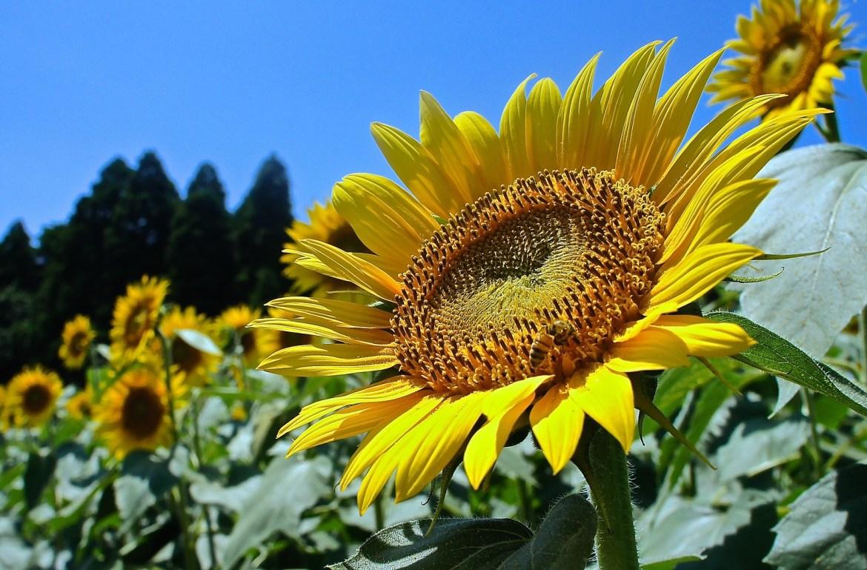 Sunflowers at Narita Yume Bokujo