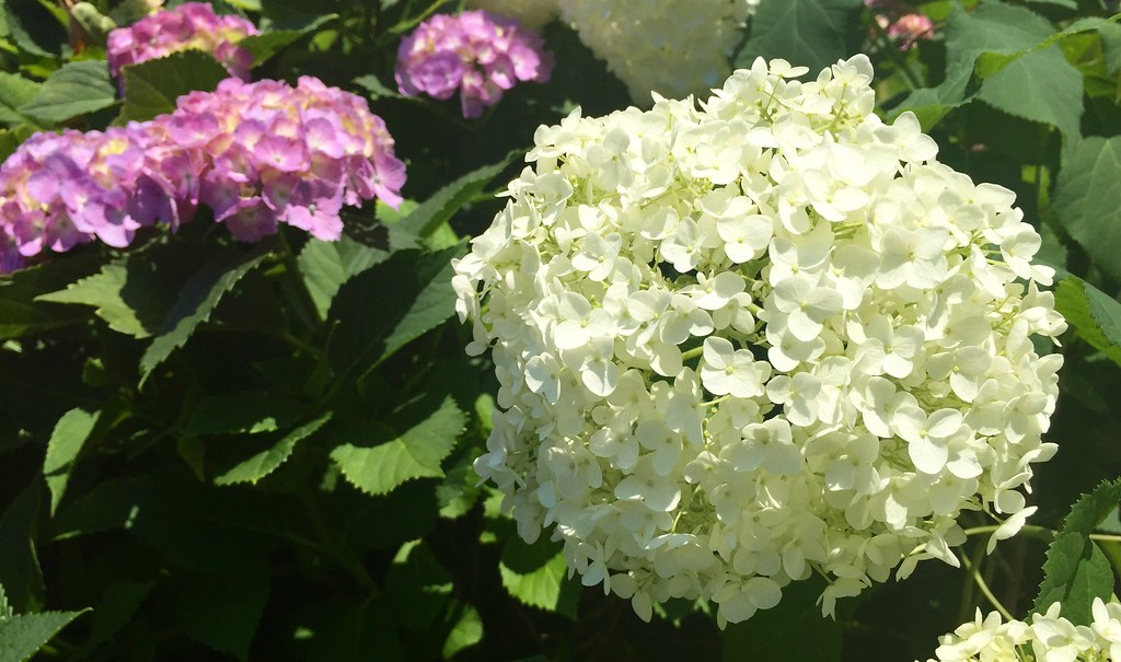 White Color Hydrangea at Hakusan Shrine