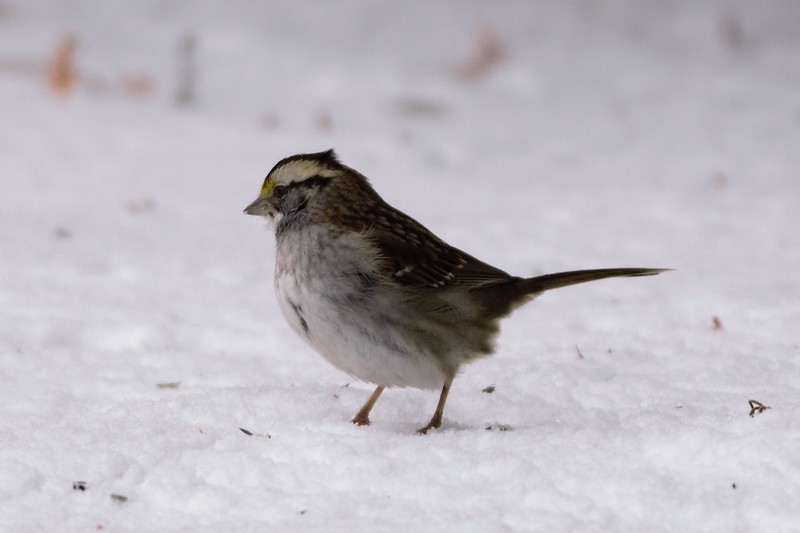 _DSC6032 White Throated Sparrow