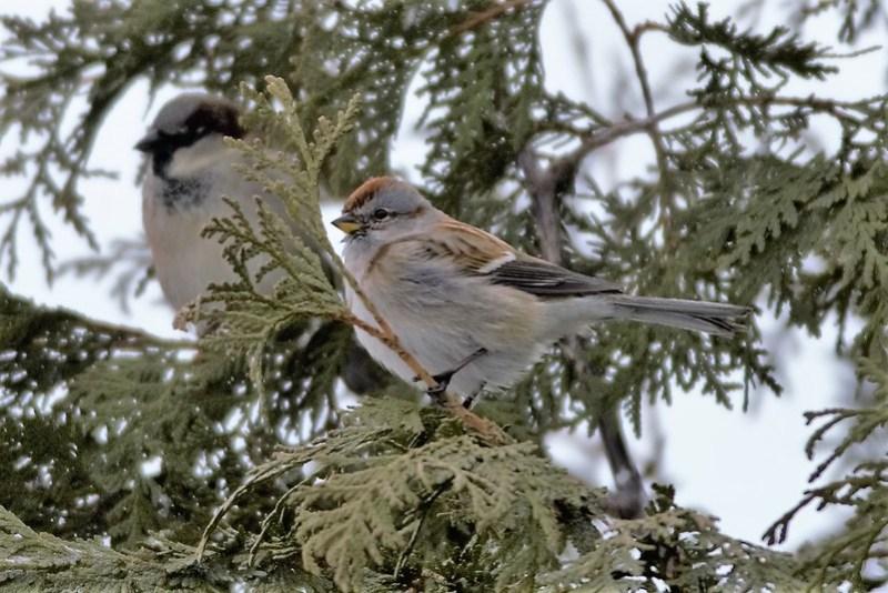 _DSC6000 American Tree Sparrow