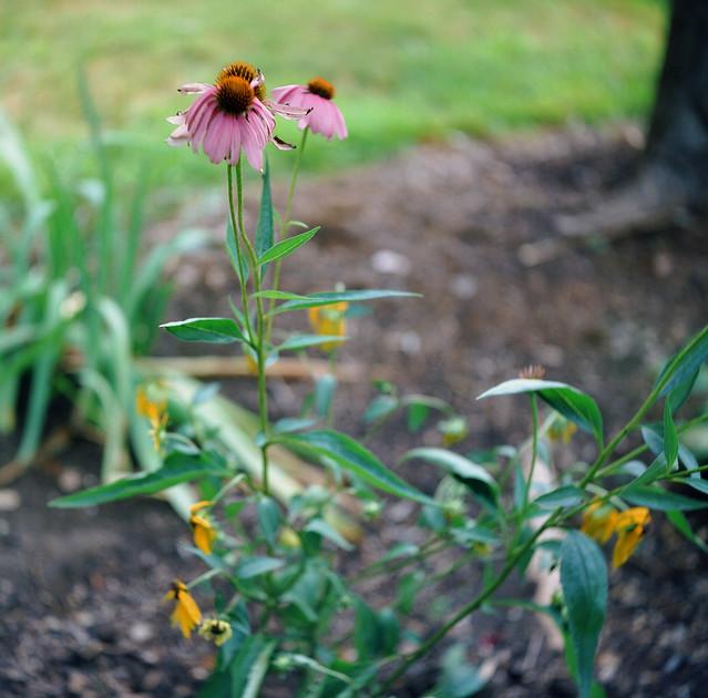 Coneflowers and yellow daisies