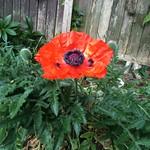 Poppy at last