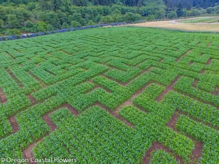 corn maze Kilchis River