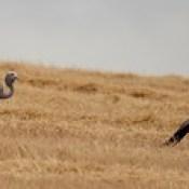 Blue Cranes (Grus paradisea)