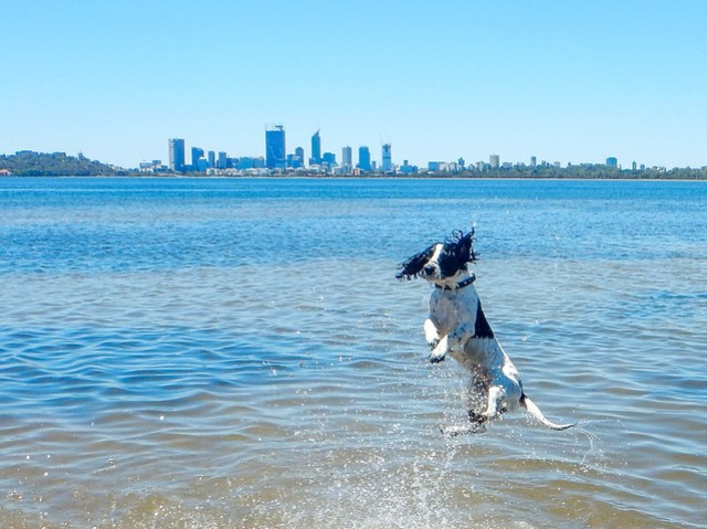 Spaniel jumps for joy in Perth