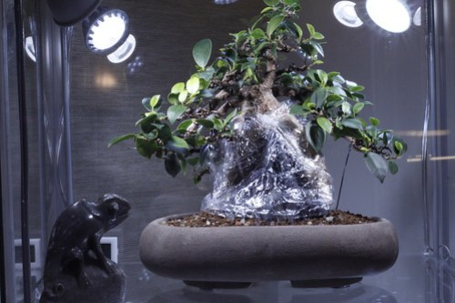 ficus airroots