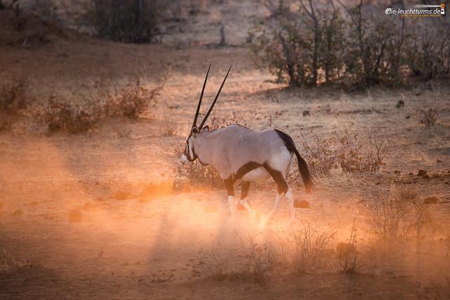 Gemsbok in evening sun