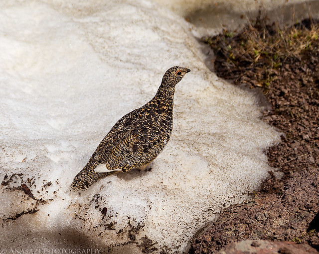 Wildhorse Ptarmigan
