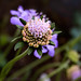 Transition : Cells to Scabiosa Flower.. to seed again, before long