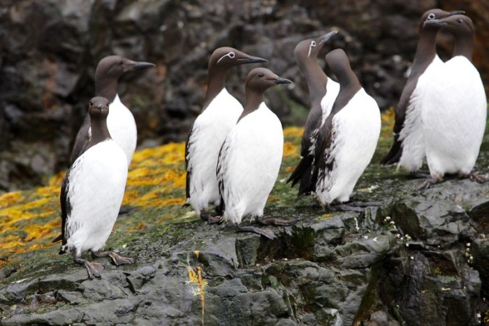 Guillemots on Bear Island Svalbard Arctic