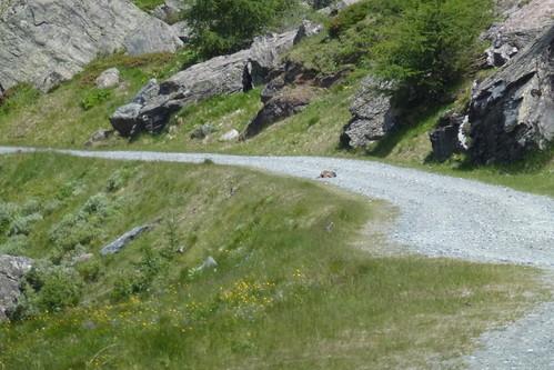 Murmeldyr Marmota marmota