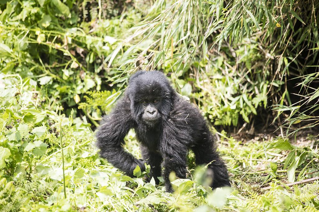 A junior gorilla in Rwanda.