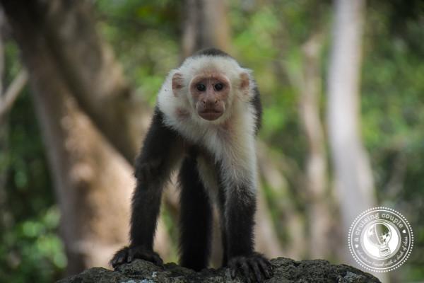 Capuchin Monkey Isla Ometepe Nicaragua