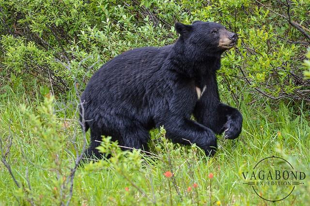 1024 - ve - bear happy dance DSC_6570