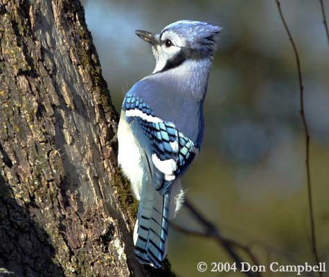 Blue Jay by Don Campbell by PA & Lat