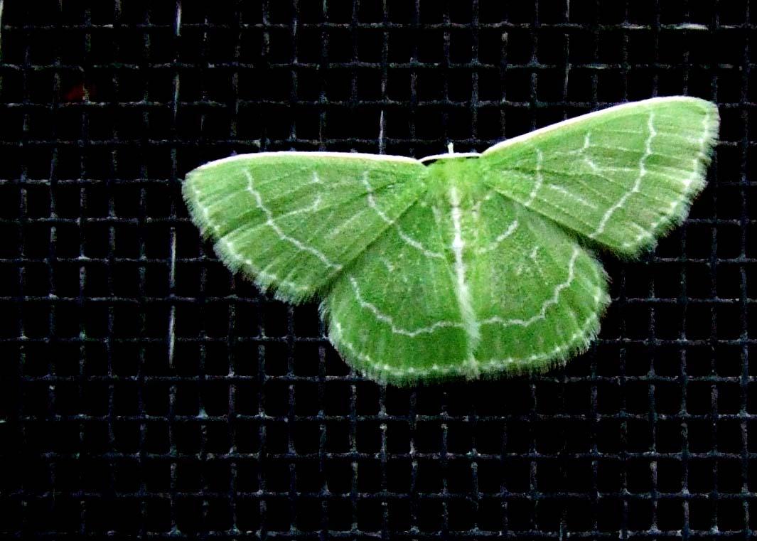 Tiny Green Moth