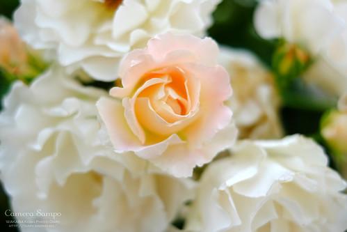 薔薇 20150522-DSCF3514_1