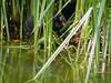 Moorhens on the Pond