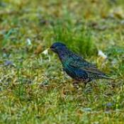 Starling - flowers for female 2