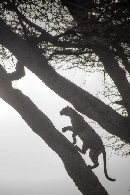 Leopard easily climbing a tree