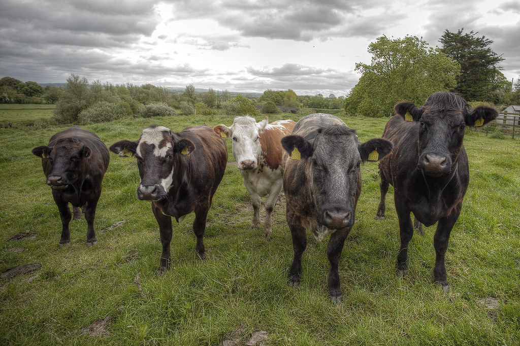 The cows that initially had caught my eye.
