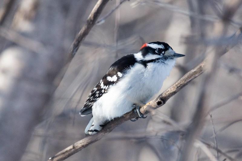_DSC6382 Downy Woodpecker