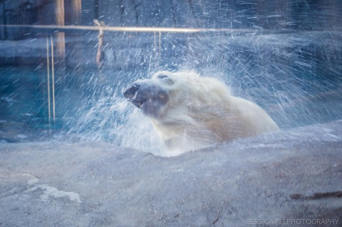 St. Louis Zoo Polar Bear